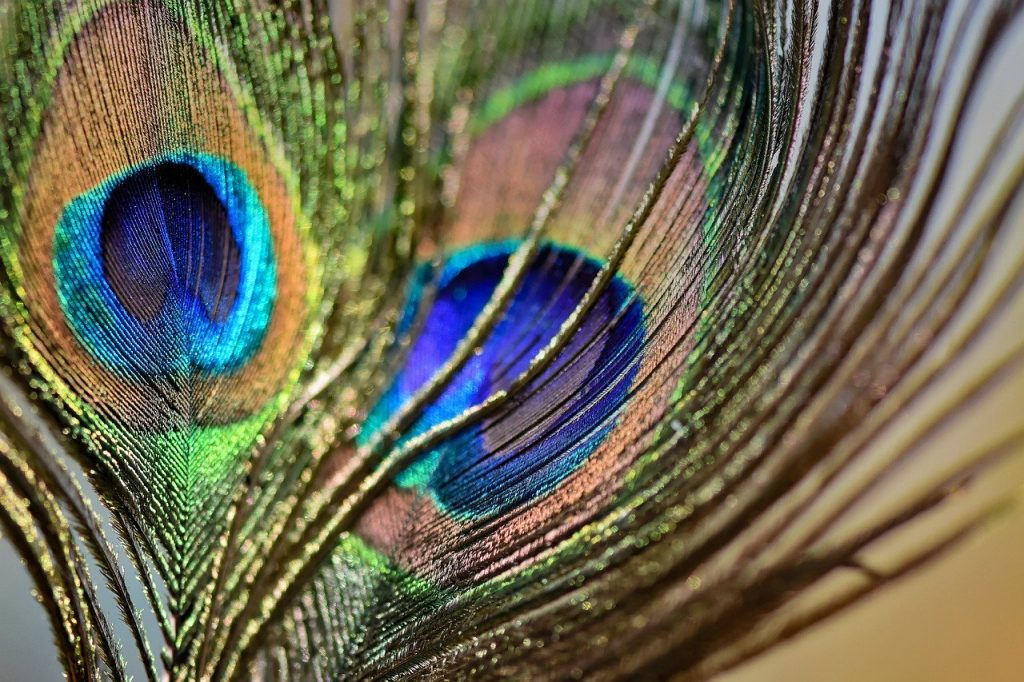 peacock feathers, plumage, iridescent