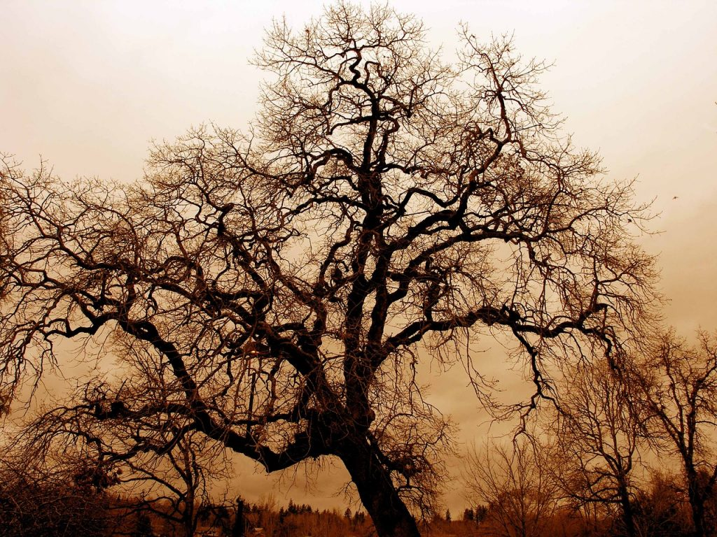 gnarled old oak, fog, twilight