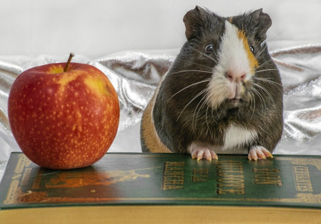 pet, apple, guinea pig